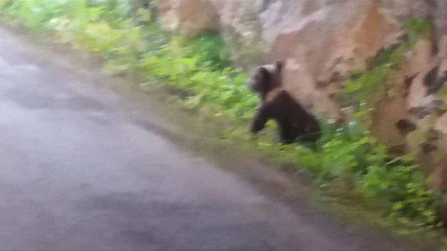 """El oso """"Yernes"""" se criará en cautividad hasta poder valerse solo en el monte"""