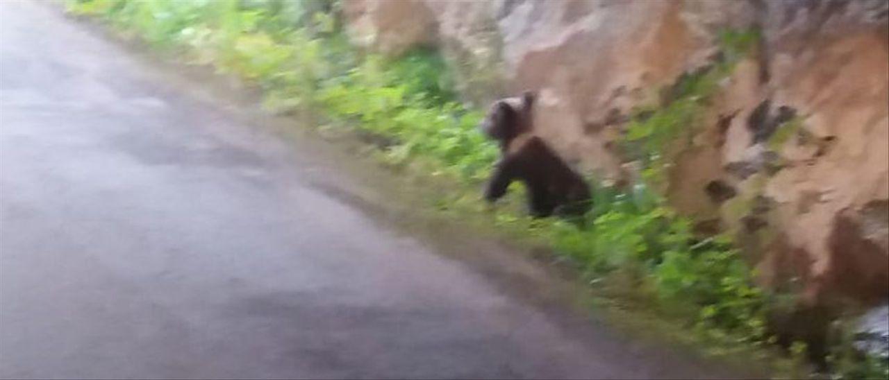 El oso, perdido, en Cubia.
