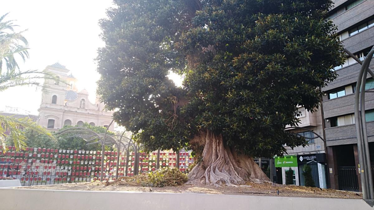 Se cae una rama del ficus de Santo Domingo
