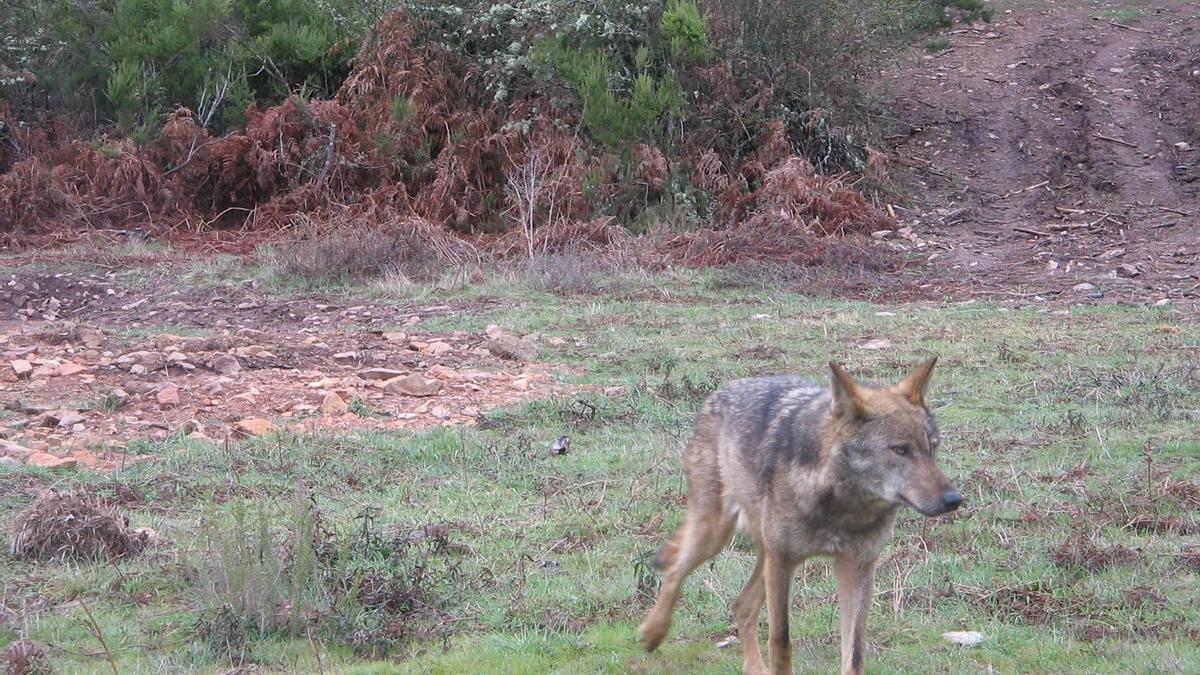 Un lobo ibérico en la Sierra de la Culebra