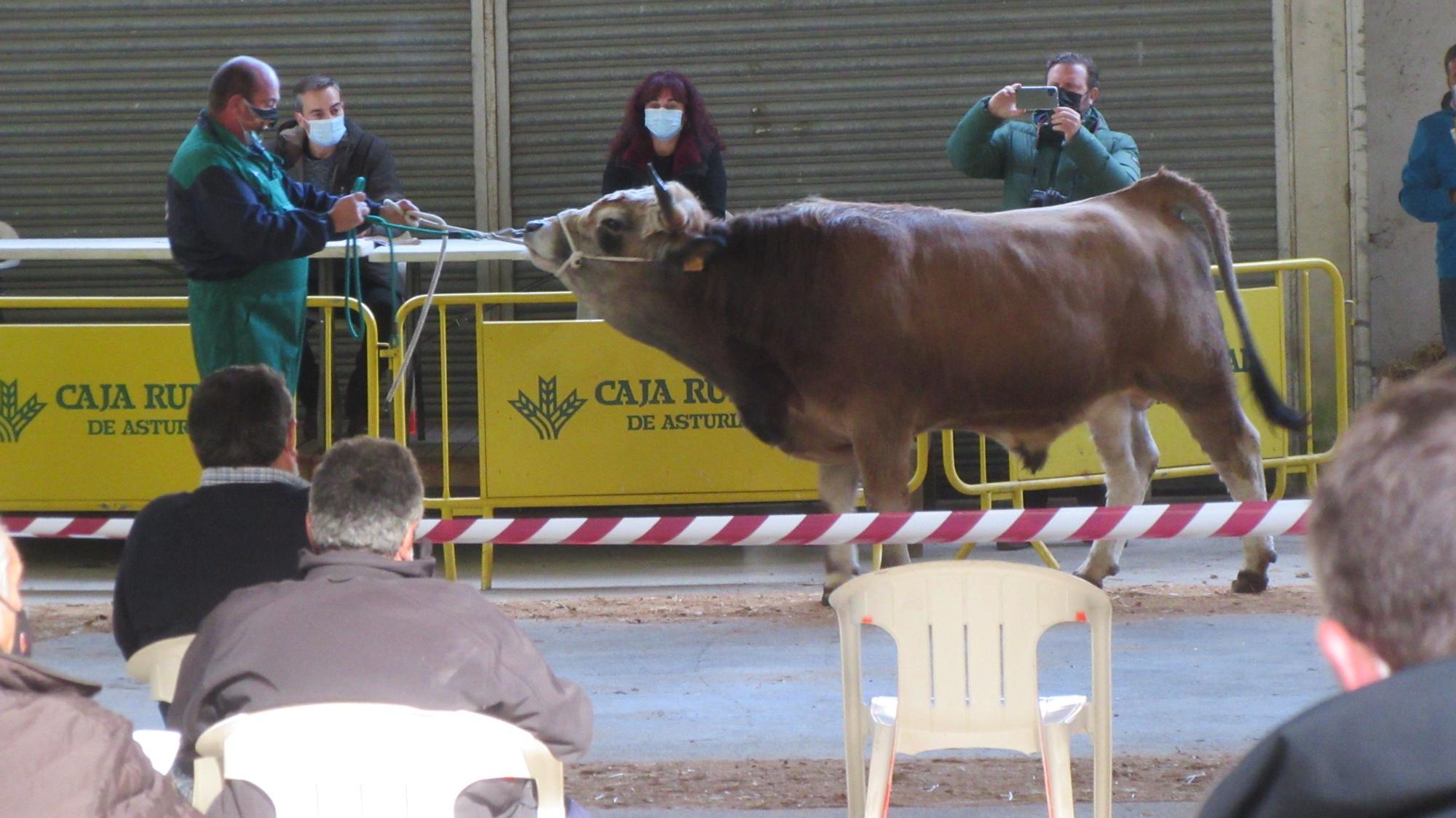 La subasta nacional de raza Asturiana de la Montaña, en casi 2.000 euros