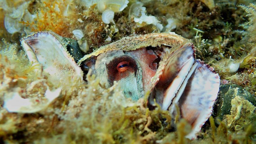 Creix la mortalitat de caixetes i ostres vermelles al nord de la Costa Brava