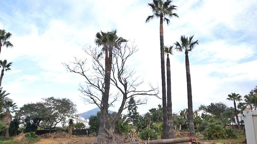 Polémica entre PP y OSP por la tala de palmeras en San Pedro Alcántara