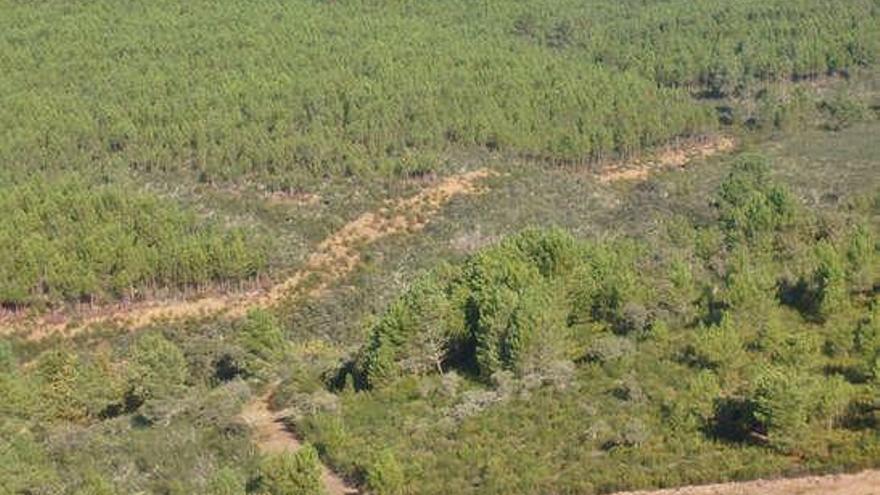 Masas forestales de pino en el término de Latedo