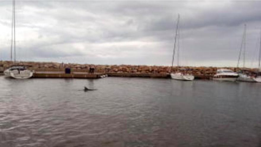 Delfin entzückt Passanten in Colònia de Sant Pere