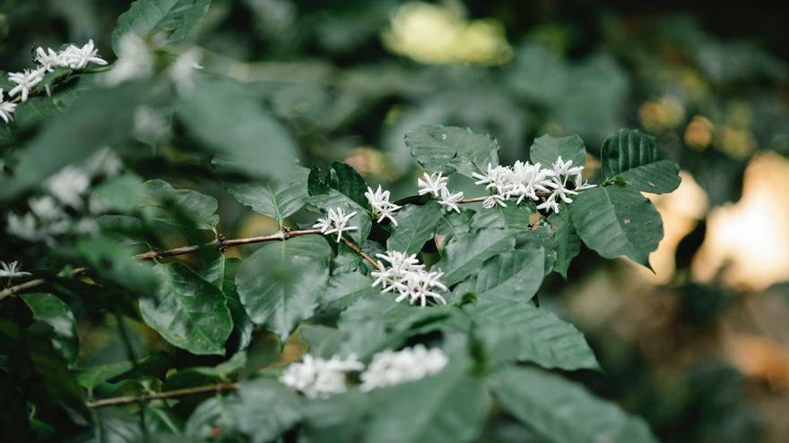 Coffea arabica, la planta del café que puedes conseguir en Ikea