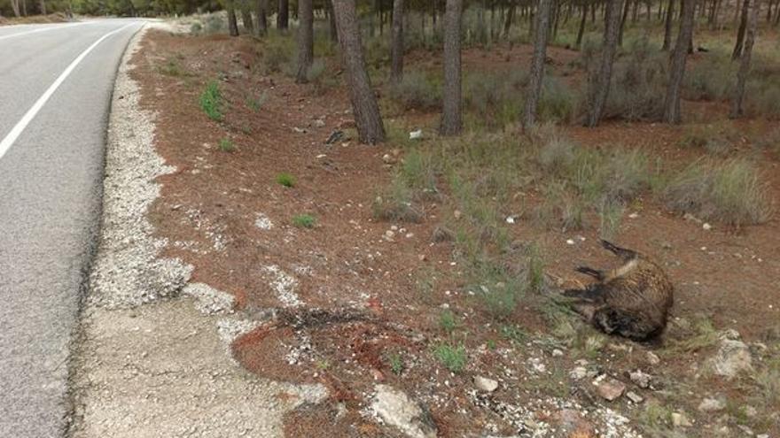 Cazadores furtivos abaten y decapitan un jabalí en Villena