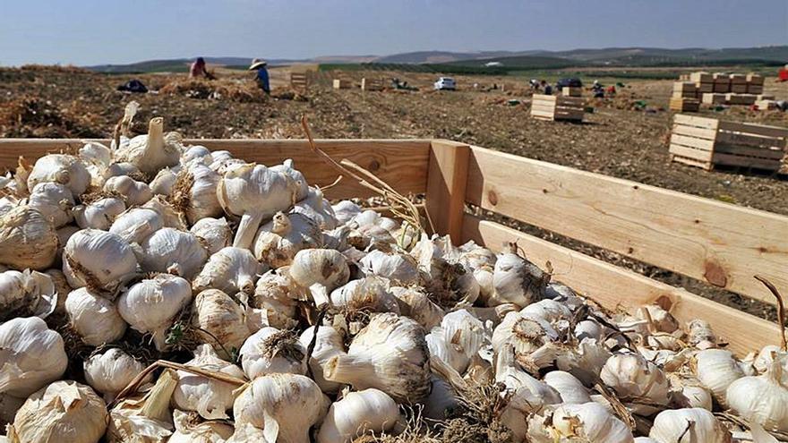 El sector del ajo espera buenos precios tras una óptima campaña