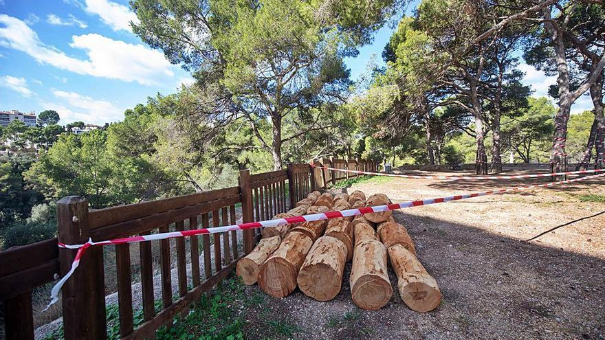Iniciada la tala de los casi 700 pinos de Bellver afectados por Tomicus