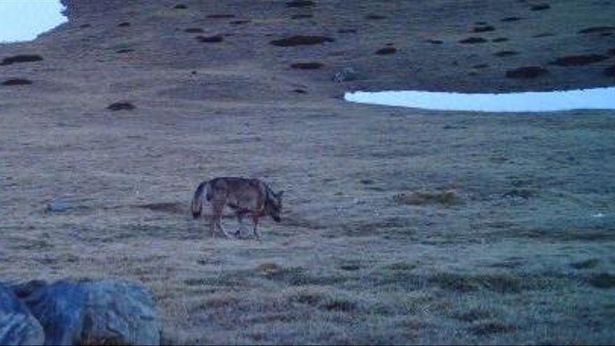 Nou avistament d'un llop al Ripollès