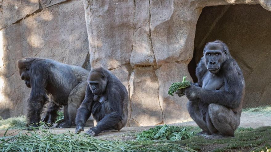 Goril·les d'un zoo d'Estats Units donen positiu de covid
