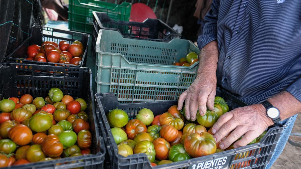 Cosecha de tomates en una finca de la Vega Baja.