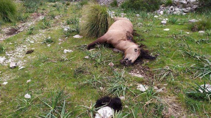 Fincabesitzer bei Pollença soll sein Pferd mit der Axt erschlagen haben