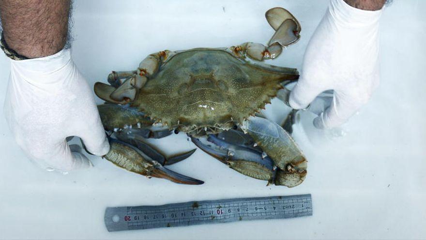 Recetas con cangrejo azul