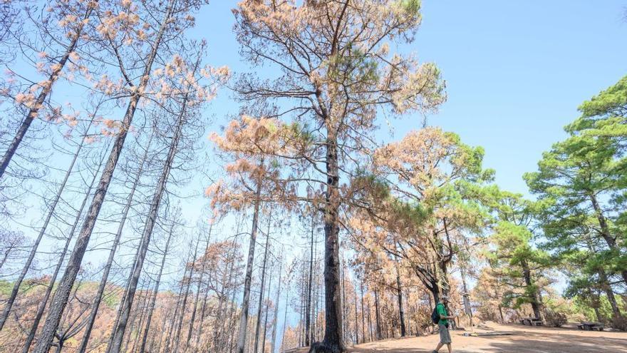 El banco de semillas del Jardín Canario garantiza la recuperación de las especies afectadas por el fuego