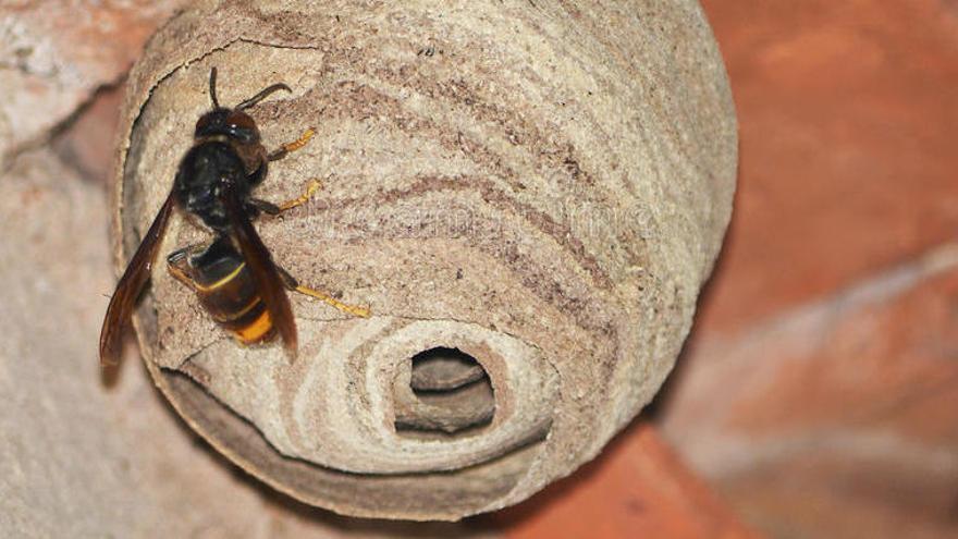 Demanen extremar les precaucions davant la nidificació de la vespa asiàtica