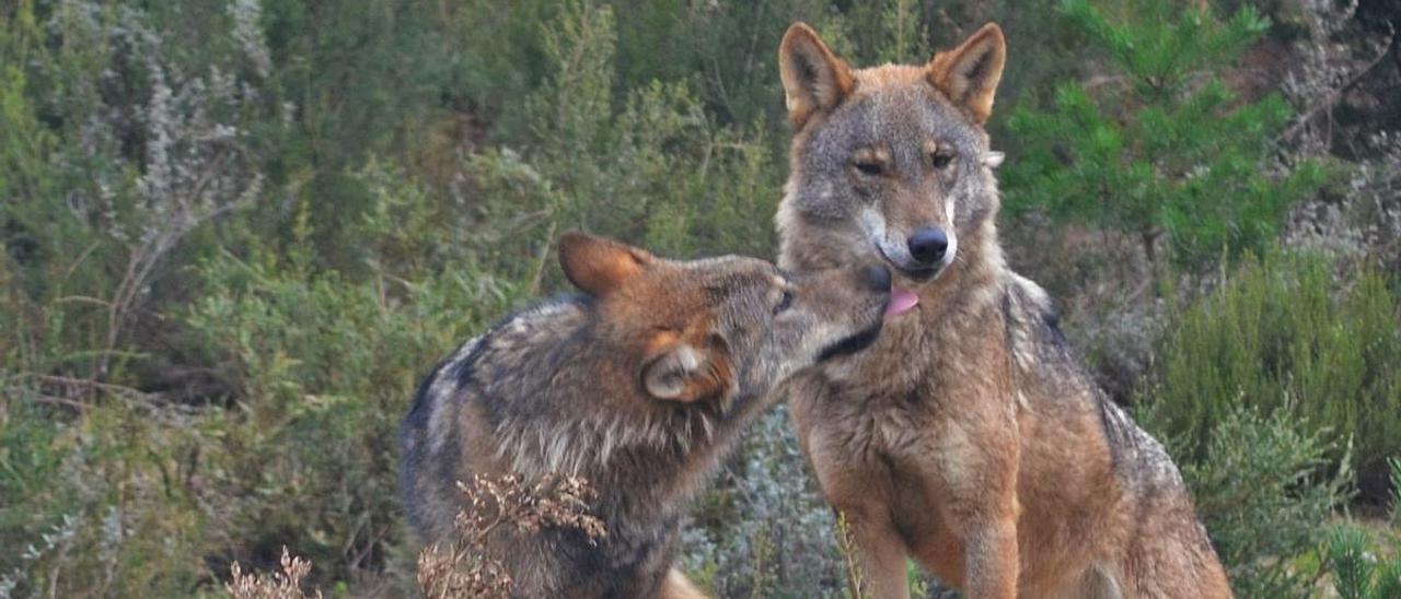 Lobos en el centro de la Fundación Patrimonio Natural de Castilla y León.