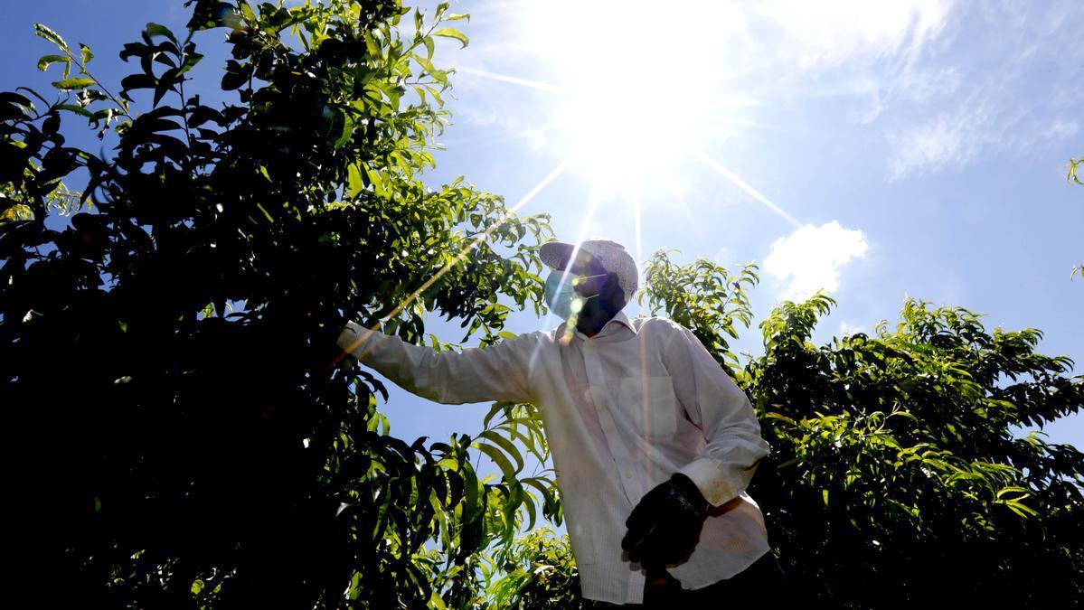 Un trabajador del campo en labores de la campaña de la fruta en una imagen de archivo.
