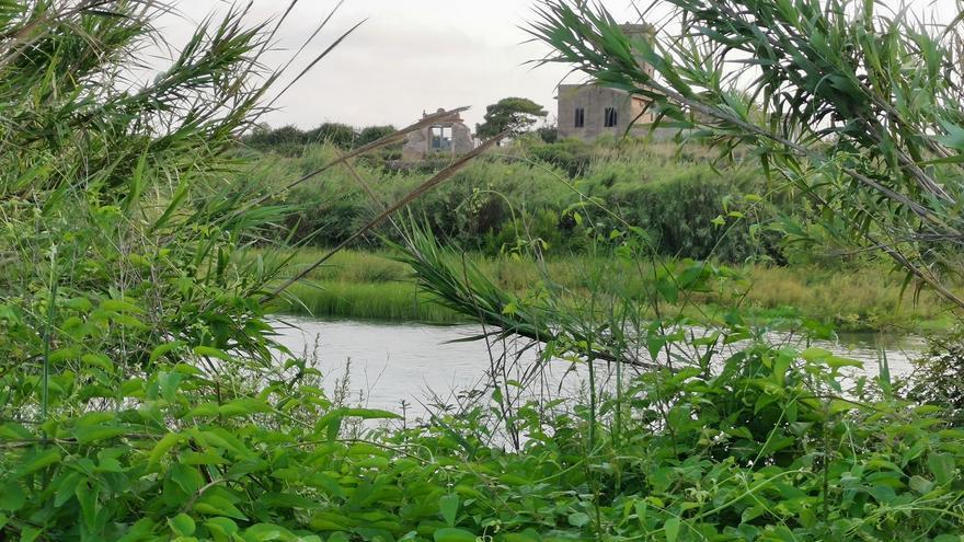 Un río Millars cada vez más imperceptible en Almassora por la caña común