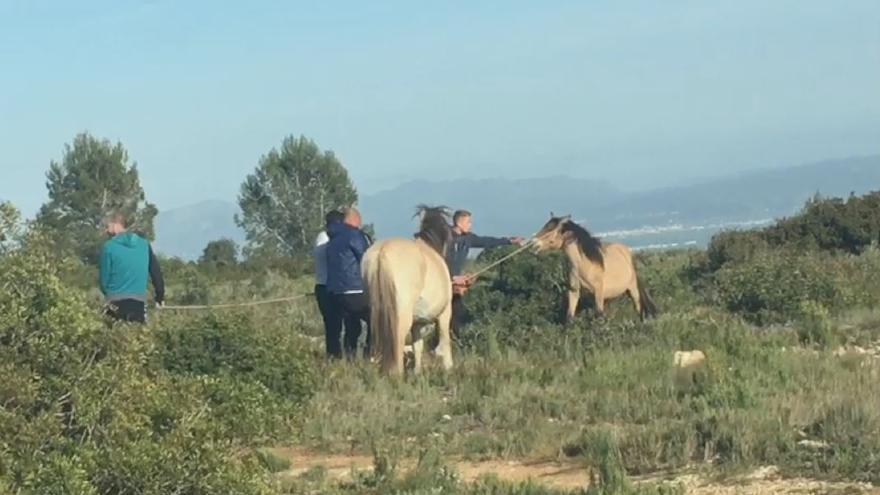Momento en el que intentan robar caballos transhumantes en Tous