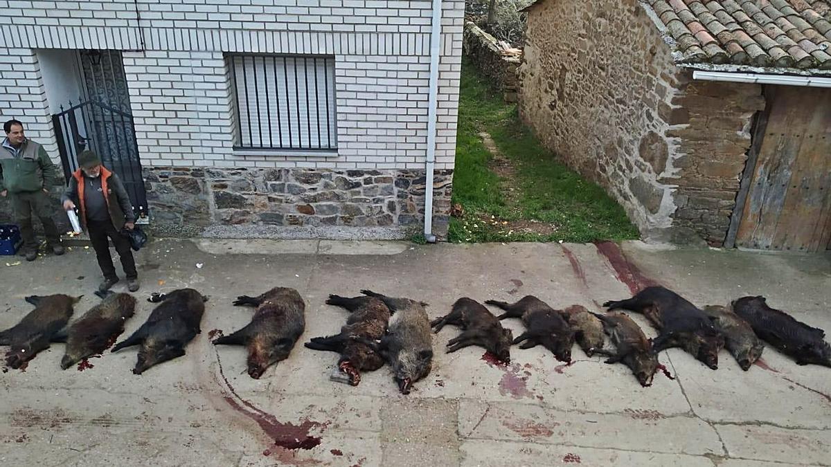 Una docena de jabalíes cazados la pasada temporada en Gallegos del Campo. | Ch. S.