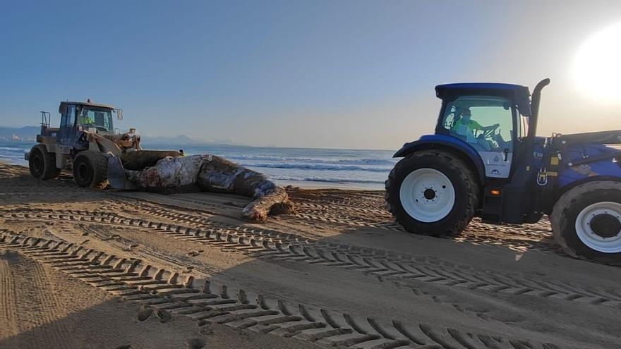 Aparece el cadáver de una ballena de casi 8 toneladas en una playa de Elx