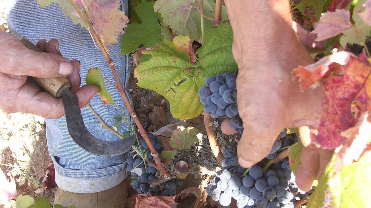 Labores de vendimia en un viñedo.