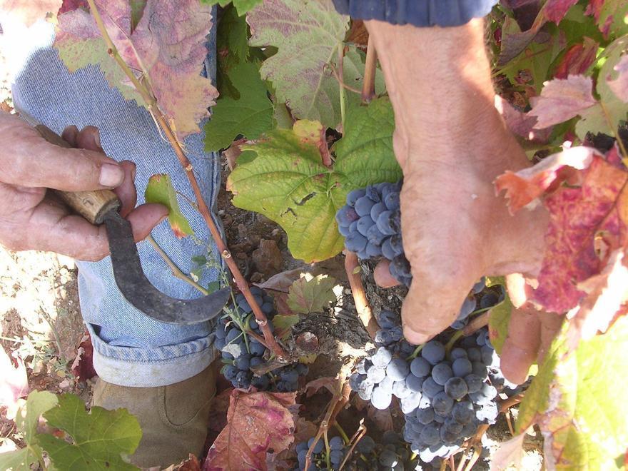 Labores de vendimia en un viñedo. | Foto cedida a L. O. Z.