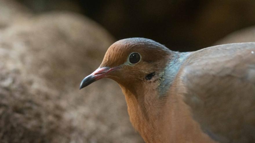 Neixen dos polls de tórtora de Socorro al Zoo de Barcelona