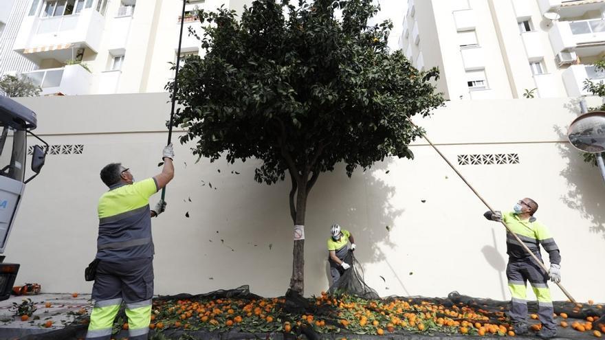Torremolinos retira 6.000 kilos de naranjas amargas de los árboles de la ciudad
