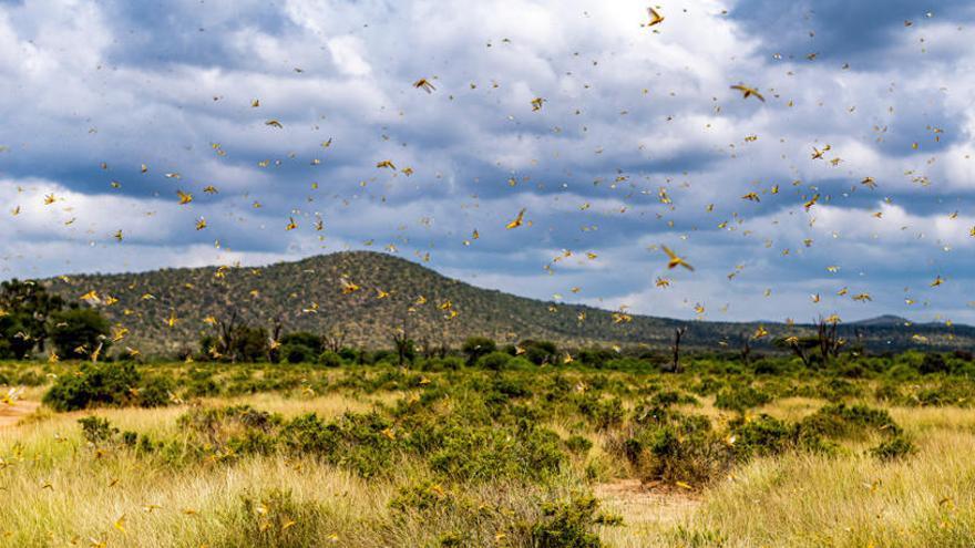 Una plaga de langostas pone en alerta a África oriental