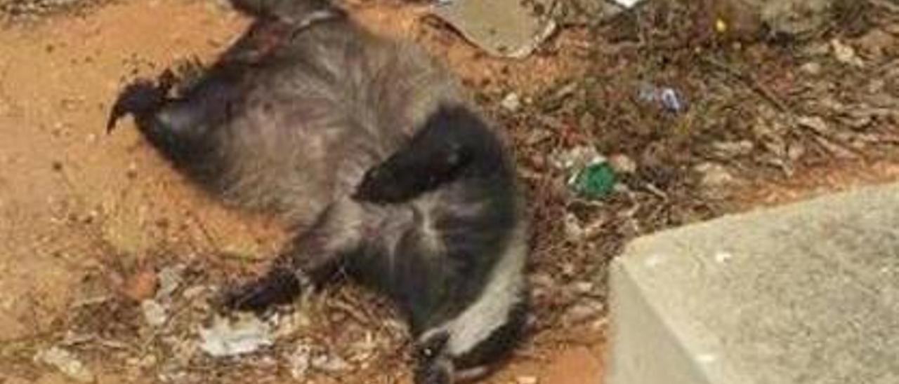 El tejón muerto en Almussafes pudo llegar desde Rumanía