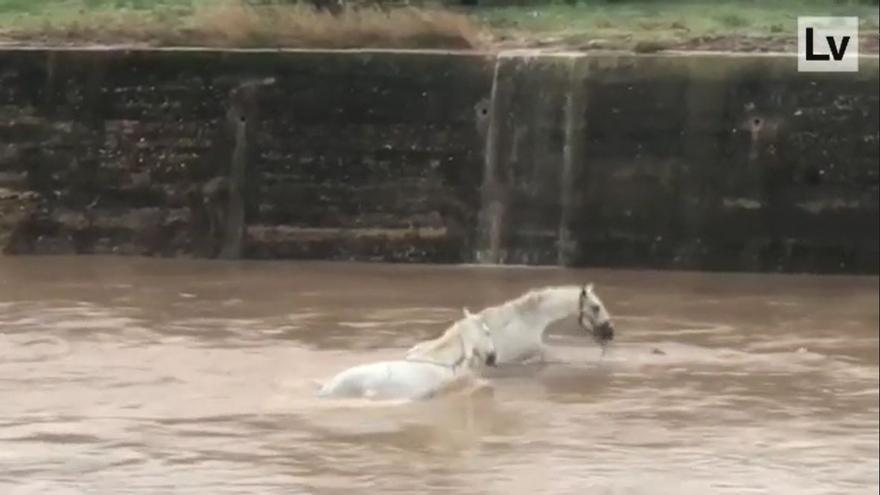 La angustiosa imagen de dos caballos con el agua al cuello en Algemesí por las fuertes lluvias