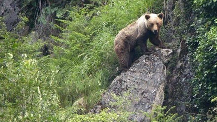 Herida grave una mujer de 75 años tras el ataque de un oso en Asturias