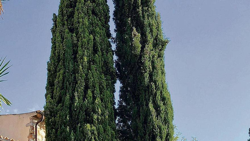 Obelisken aus der Dino-Zeit: Die Zypressen von Mallorca