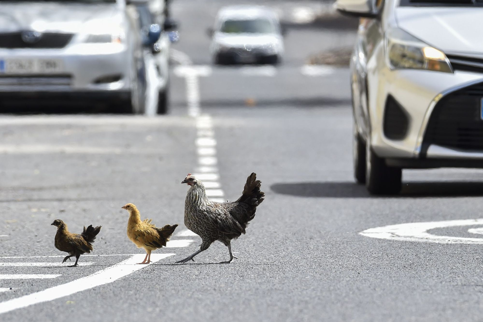 Colonia de gallos y gallinas sueltas por las calles de Salto del Negro