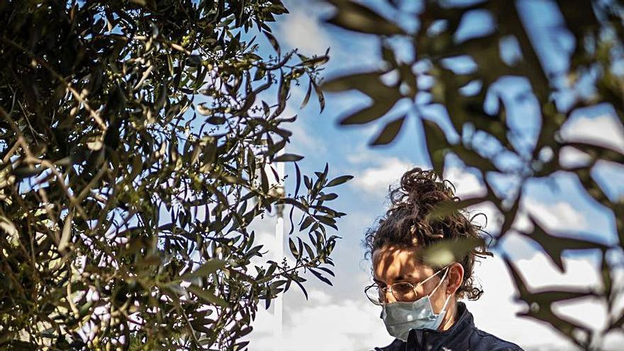 Agricultura apuesta por fomentar el cultivo de los olivares en la Isla