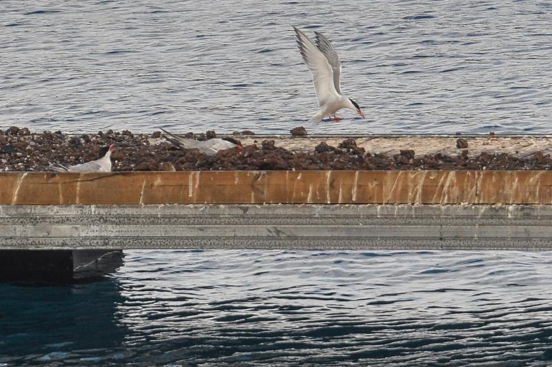 Los charranes se multiplican en el puerto de La Luz