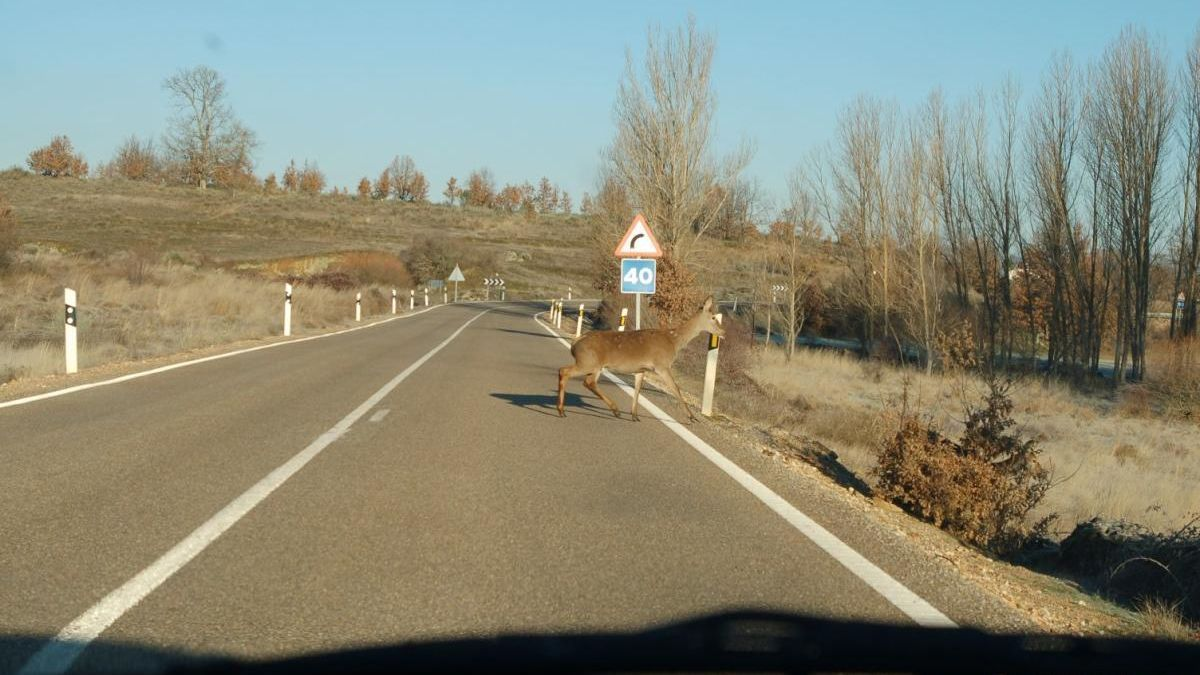 Una cierva cruza la Nacional 631 en Villanueva de Valrojo.