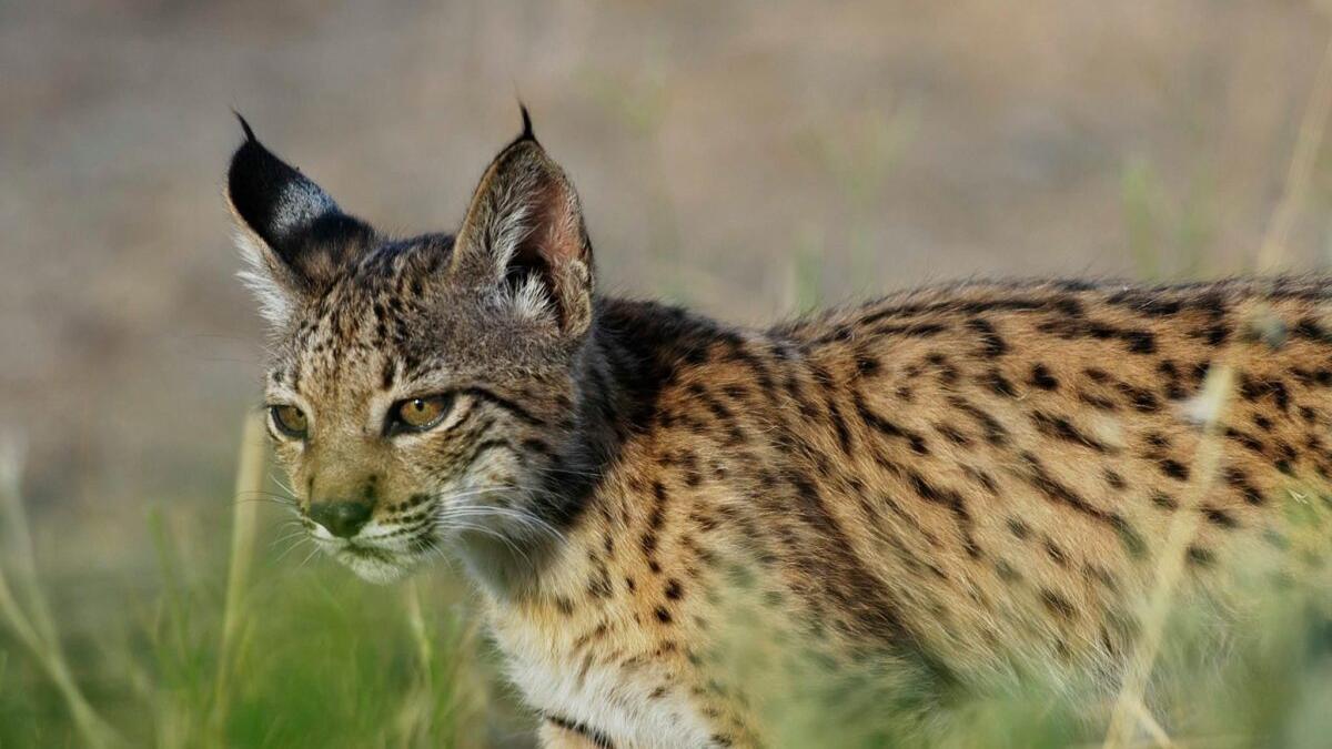 El lince se aleja de la extinción: ya hay 1.111 ejemplares en la Península
