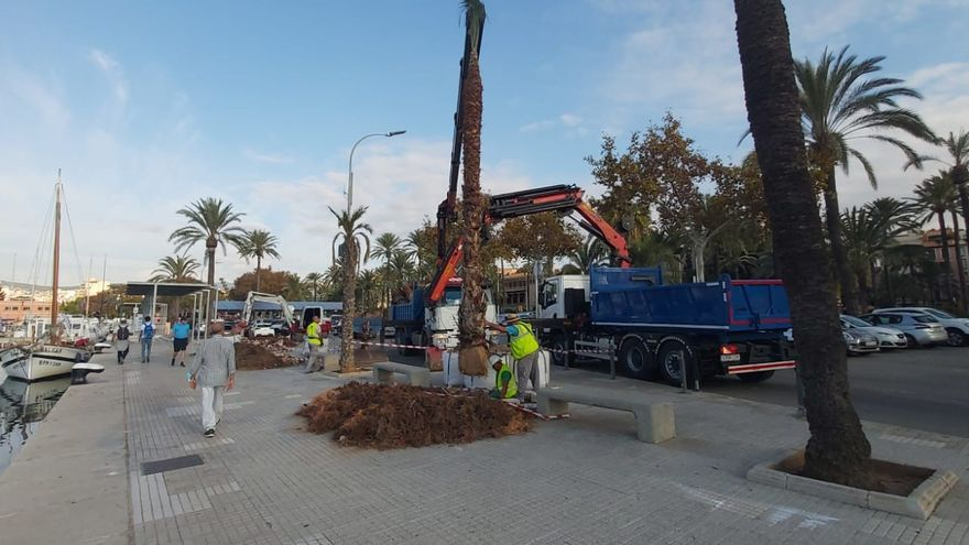 La APB repone 20 palmeras del puerto por seguridad