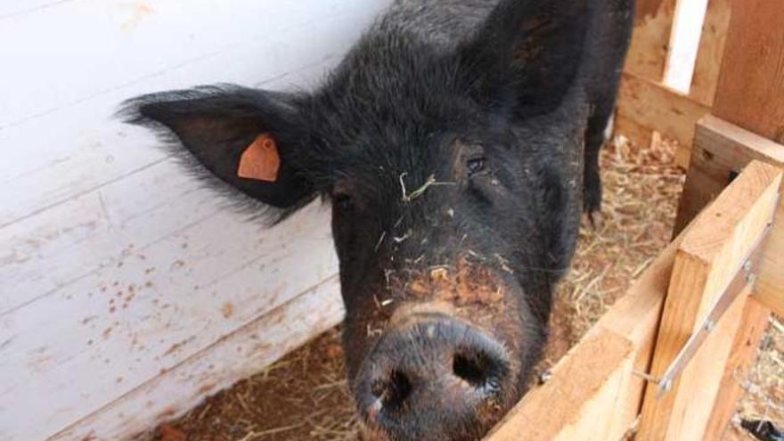 ¿Quieres bautizar a un cerdo con el nombre de tu ex?