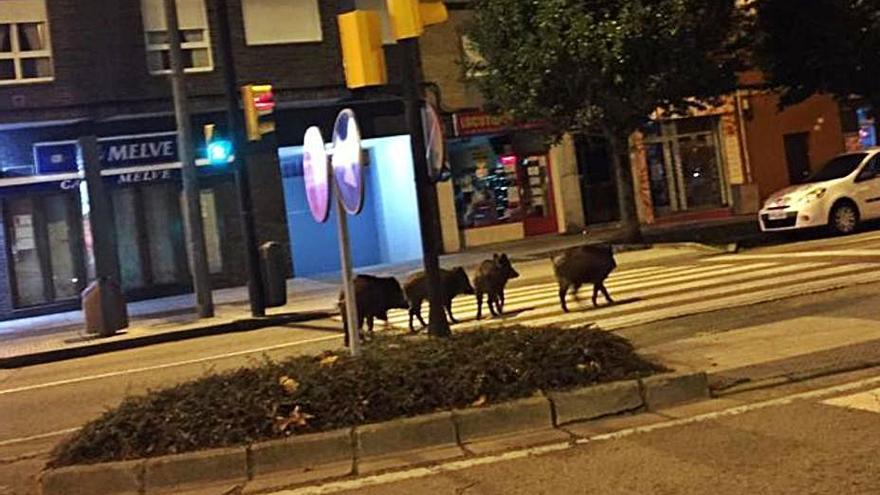 Cuatro jabalíes se pasean por Pumarín