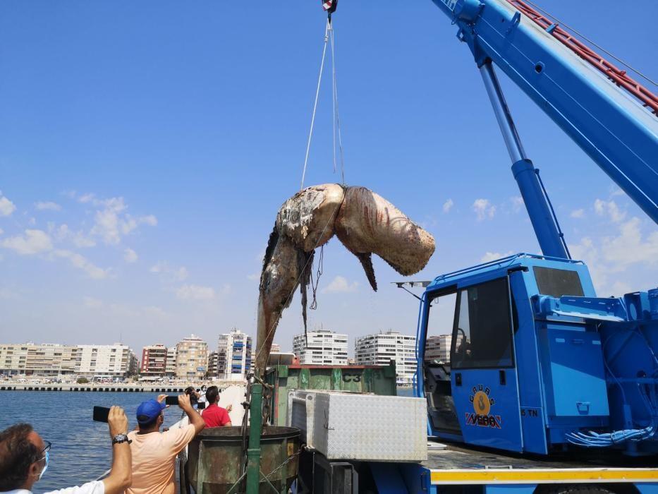Una grúa traslada el cadáver del cachalote en el muelle de la Sal de Torrevieja