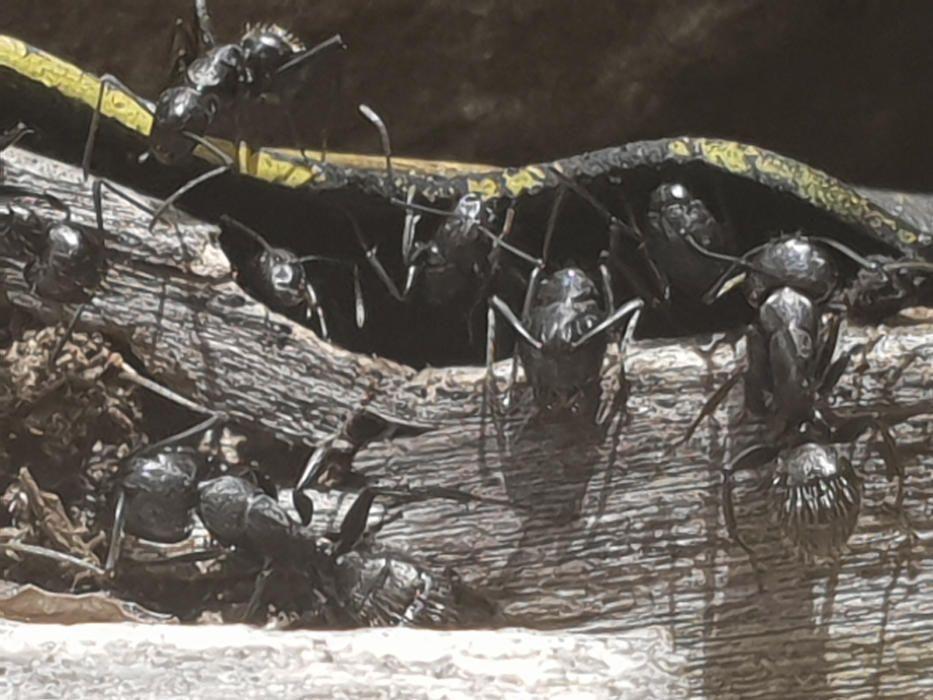 Collita. Durant l'estiu toca treballar i, com podem veure en aquesta imatge, les formigues ja fa dies que han començat a recol·lectar queviures per tenir el magatzem ben ple de cara al temps de fred.