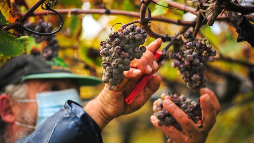 Rías Baixas cierra oficialmente su vendimia: 34,5 millones de kilos de uva