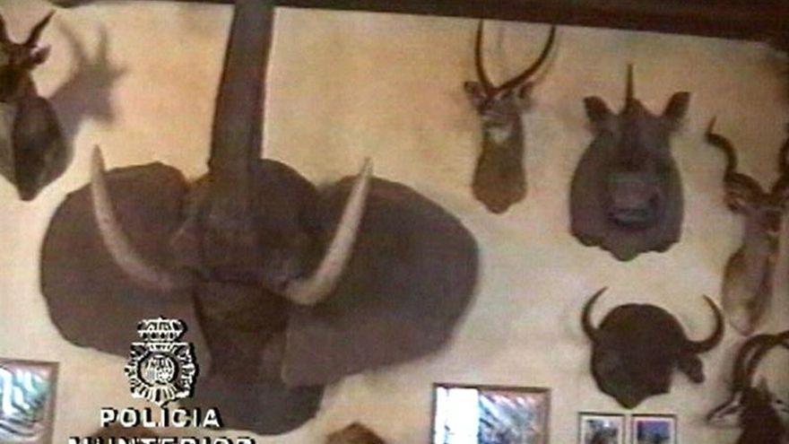 Se lleva dos cuernos de un rinoceronte de Roca y los sustituye por otros de plástico