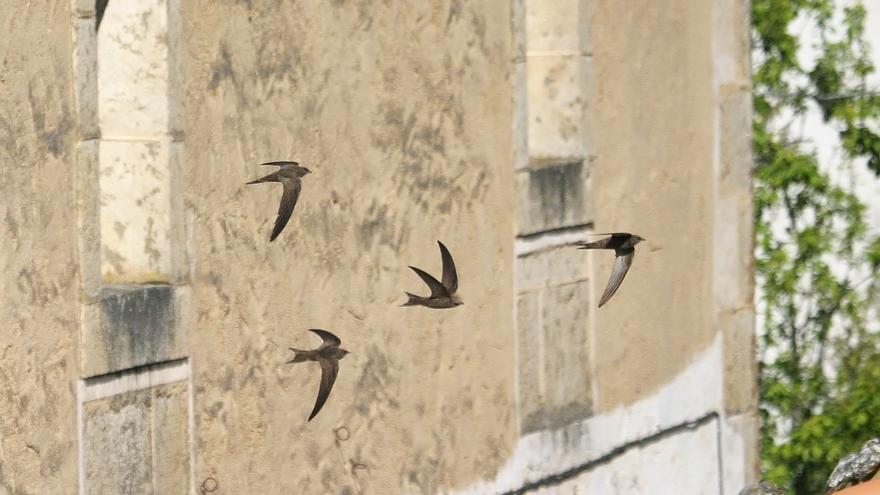 """""""Las tres mosquiteras"""", aves urbanas insectívoras contra las plagas"""