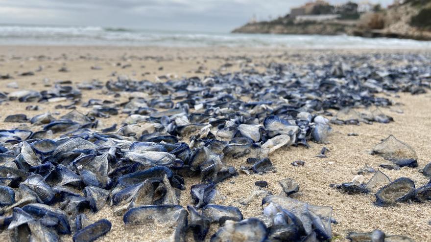 Miles de medusas moradas invaden las playas de la Comunitat Valenciana