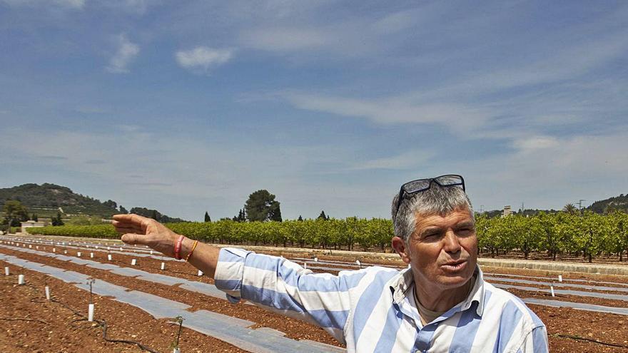 La rentabilidad de las nueces estimula  la plantación de nogales en La Ribera